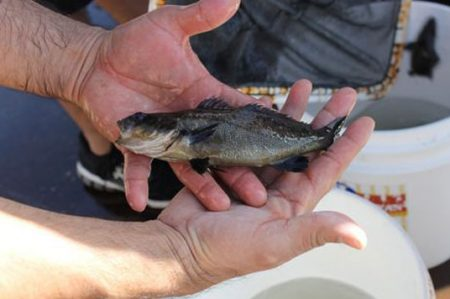 Aseguran 8 kilos de pez totoaba en Baja California
