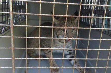 Liberan 3 ejemplares de gato montés en hábitat natural de Tamaulipas