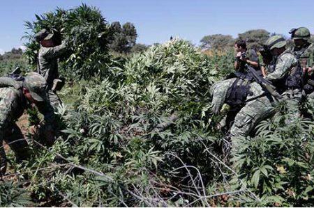 PGR destruyó más de 30 mil plantas de marihuana en Morelos