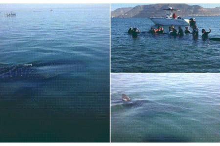 Rescatan a tiburón ballena varado en BCS