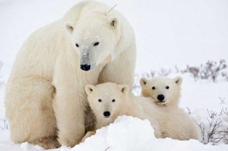 Hoy es el Día del Oso Polar