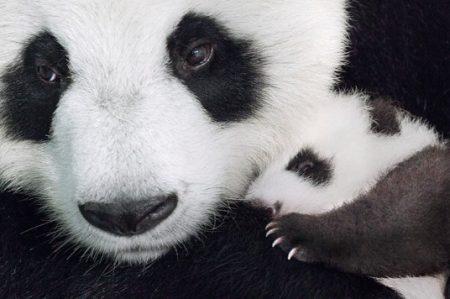 Presenta Disney el tierno documental: 'Nacidos en China'