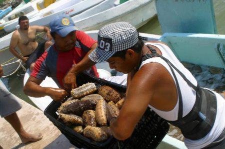 Temporada para pesca de pepino de mar finaliza el sábado