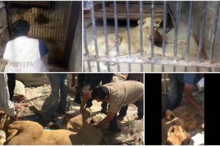 Asegura Profepa a león que caminaba por calles de Zapopan