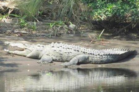 Buscan a cocodrilo que atacó a jóvenes en Chiapas