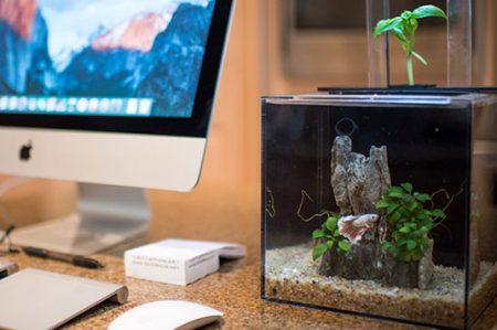Excremento de peces es utilizado para cultivar plantas en un acuario