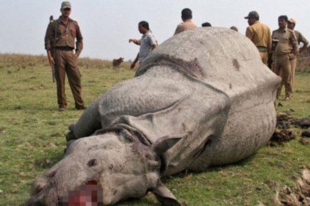 Cazan a rinoceronte dentro de zoológico en París por su cuerno