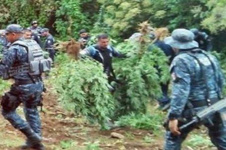 Destruyen al menos 4 toneladas de amapola en Oaxaca