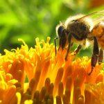Sin abejas habría crisis alimentaria