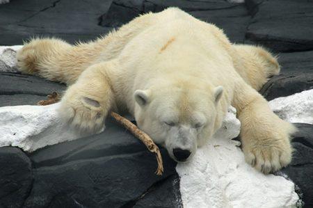 Osa polar muere con el 'corazón roto'