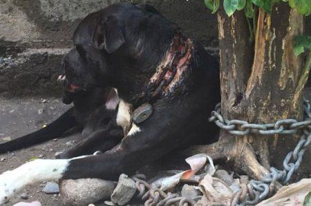 Rescatan a perro atado con cadena de 5/8 a su cuello