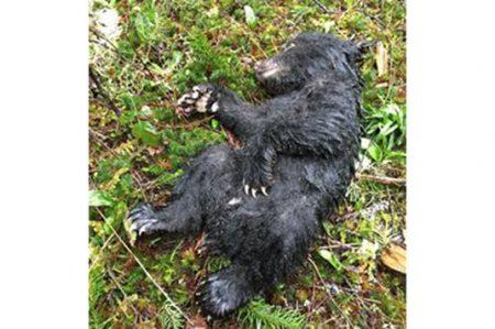 Pese al peligro excursionista logra salvar a un cachorro de oso