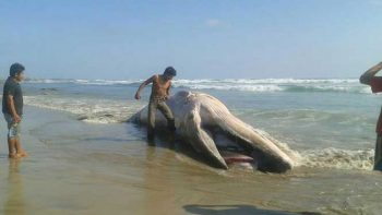 Ballena azul de 10 metros queda varada en Oaxaca