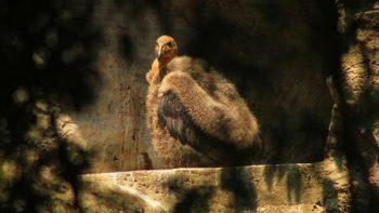 Nace Cóndor de California en Zoológico de Chapultepec