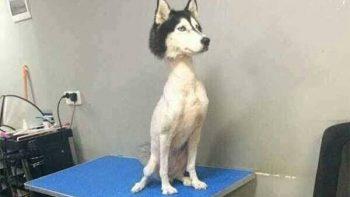 Perro Husky Siberiano rapado causa risas e indignación en redes sociales