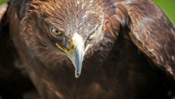Encuentran al menos 12 sitios de reproducción del Águila Real en Chihuahua