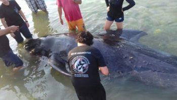 Procuraduría ambiental atiende varamiento de ballena piloto en La Paz