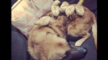 Un adorable perro macho se cree 'la mamá de los pollitos' (FOTOS)