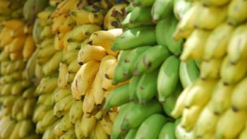 Realizan fertilizante orgánico a base plátano