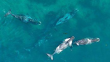Estudiante universitario monitorea a ballenas con drones