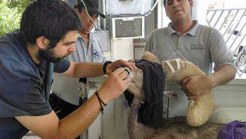 Rescatan borrego cimarrón en sierra de Baja California
