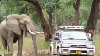 Enorme elefante persigue a veterinarios para que le retiren una bala de cráneo (VIDEO)