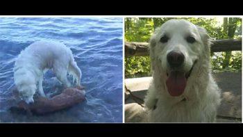 Un perro salta al agua para rescatar a un pequeño ciervo (VIDEO)