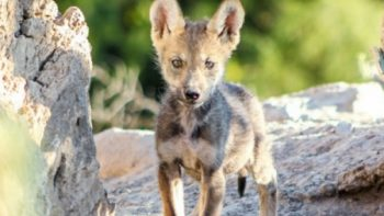 Lobo gris, protegido y rehabilitado en el Norte de México