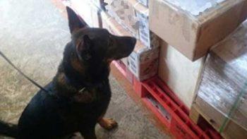 Perro policía detecta droga oculta en productos de belleza en Jalisco
