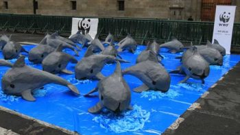 En peligro de extinción últimas 30 vaquitas marinas en el mundo