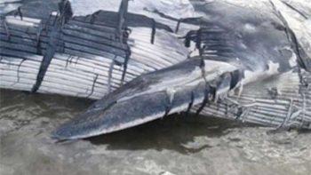 Profepa atiende varamiento de ballena rorcual en Nuevo Vallarta, Nayarit