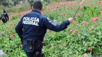Destruyen 54 hectáreas de amapola en Guerrero