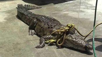 Gendarmería captura cocodrilo que 'paseaba' en Madero