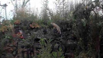 Fotografían raro espécimen de zorra gris en Reserva Ecológica de CU