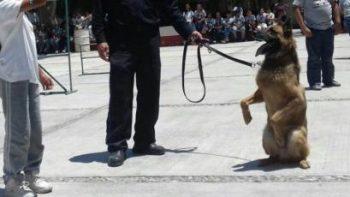 Muere 'Soldado', la estrella del escuadrón canino de Coahuila