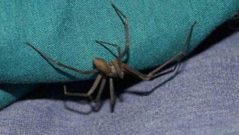 Muere niño por mordedura de araña violinista en Chiapas