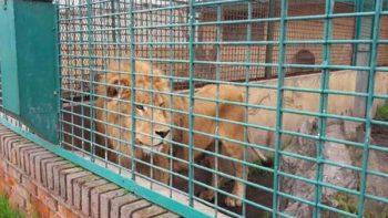 Asegura Profepa dos felinos en reserva silvestre del Edomex
