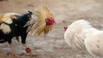 Aprueban en Tekax, Yucatán, peleas de gallos como algo cultural