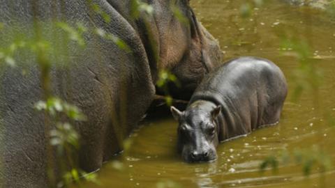 Mamá hipopótamo mata a su cría en reserva de Acapulco