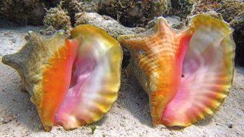 Decomisan 400 kilos de caracol rosado en el sur de Quintana Roo