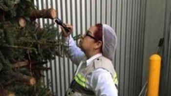 Profepa impide entrada de dos mil 130 árboles de Navidad al país