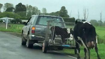 Vaca corre desesperada detrás de sus becerritos que son enviados al matadero (VIDEO)