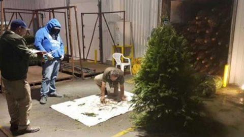 Profepa regresa a EU más de 15 mil árboles por plagas