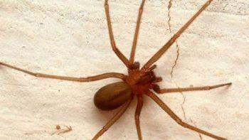 Descubren nueva especie de araña violinista en Puebla