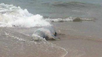 Suman siete leones marinos muertos en último mes en Mazatlán