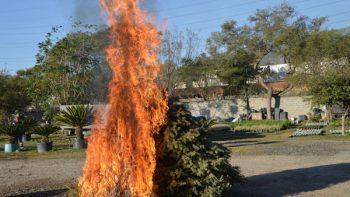 Recogerán a domicilio pinos de Navidad secos en San Nicolás