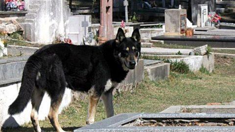 Muere 'Capitán', el perro que visitó la tumba de su amo por diez años
