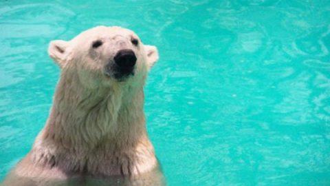 Piden por salud de osa polar 'Yupik' no trasladarla a Reino Unido