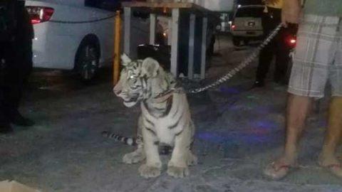 Empresario pasea tigre de bengala en Oaxaca; asegura que es legal