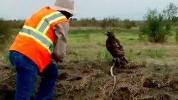 Captan a águila devorando a serpiente en terrenos de nuevo aeropuerto